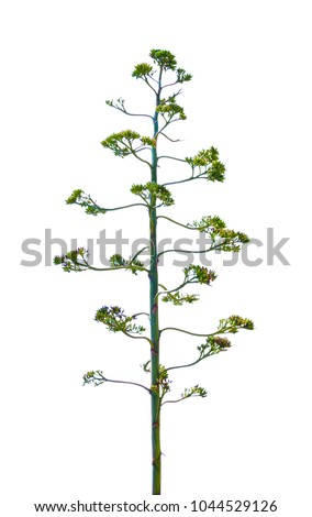 Century Plant (Agave americana) flower isolated on white background.