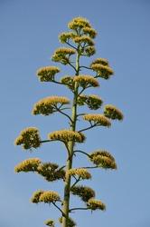 Century plant (Agave americana) flowering spike, Mali Losinj, Croatian island. Tall flowering spike of the century plant agave.