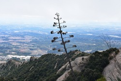 century plant bloom at a mountain