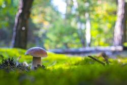 Cep mushroom grow in forest glade. Beautiful autumn season porcini in moss. Edible mushrooms raw food. Vegetarian natural meal