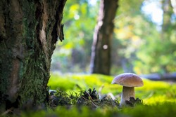 Cep mushroom grow in forest glade. Beautiful autumn season porcini in moss near tree. Edible mushrooms raw food. Vegetarian natural meal