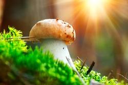 Cep Mushroom Growing in Autumn Forest. Boletus. Mushroom picking concept. Mushrooms growing in woods