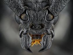 Cerambyx cerdo isolated on a black background. Mega macro shot. Ireneusz Irass Waledzik. Extreme close-up.