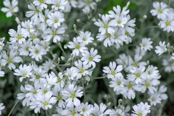 Cerastium tomentosum snow in summer flowers in bloom, group of flowering plants with white petals in ornamental garden, alpine rock plant