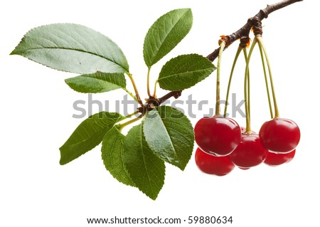 Cerasus avium branch with water drops isolated over white