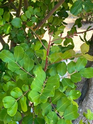 Ceratonia siliqua, commonly known as carob tree or carob bush as background. Small evergreen Arabian tree which bears long brownish-purple edible pods. Carob bean, used as a substitute for chocolate
