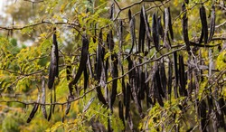 Ceratonia siliqua, commonly known as the carob tree or carob bush.