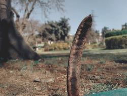 Ceratonia - the arabian fruit