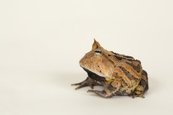 Ceratophrys cornuta Amazone horned frog