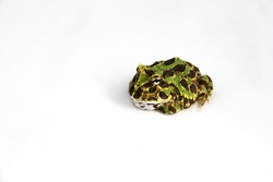 Ceratophrys Cranwelli - Cranwell's horned frog also known as the Chacoan horned frog or Pac man frog. Indivual sitting on a white background.