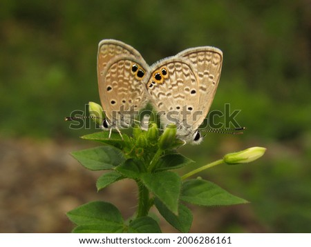 Ceraunus blue butterfly, Hemiargus ceraunus (Fabricius), Costa Rica  Foto stock ©