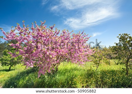Cercis, blossoming on a wood glade near to border of Israel and Lebanon