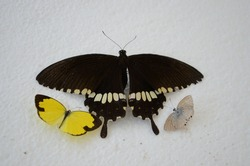 Cercyonis oetus, the small wood-nymph butterfly; Eurema Lisa, commonly known as the little yellow butterfly and black and white coloured papilio polytes, the common mormon swallowtail butterfly. Three