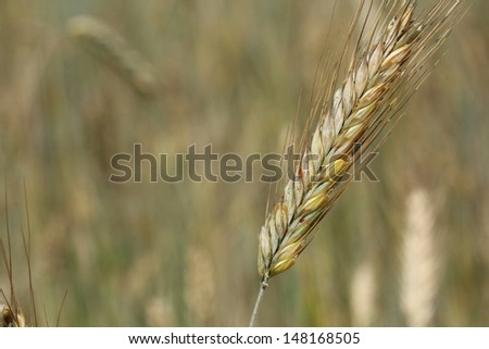 cereal, ear of oat