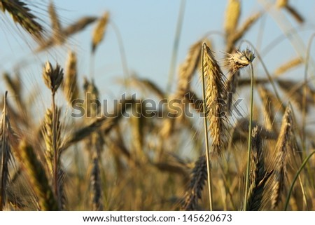 cereal, ear of oat, field, countryside