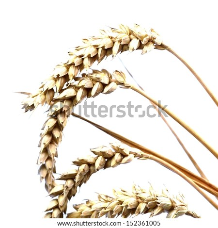 Cereal ears - wheat - isolated
