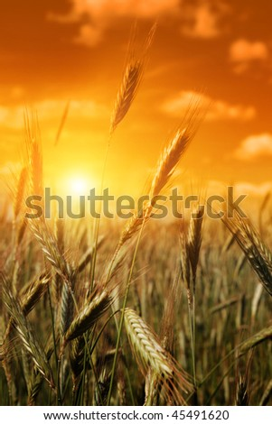 Cereal field at sunset.