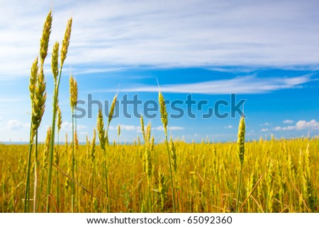 cereal field over blue skies