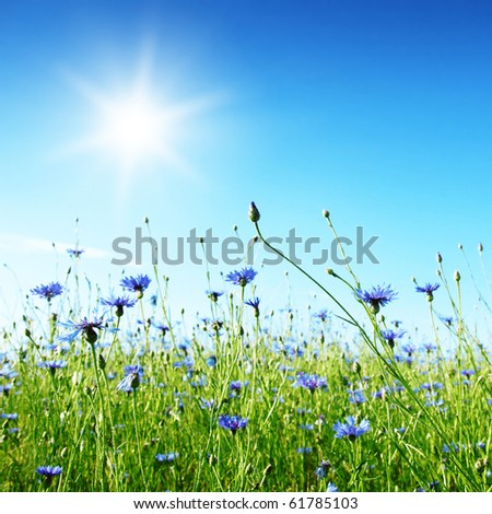 Cereal field with cornflowers and sun. #61785103