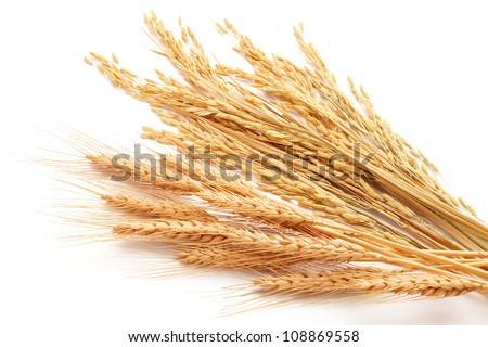 cereal plant or grain isolated on white background