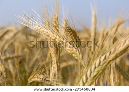 Cereal Plants, Rye, with different focus. Barley grain is used for flour, rye bread, and animal fodder. #293468804