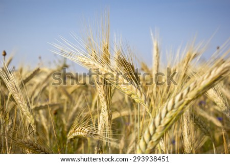 Cereal Plants, Rye, with different focus. Barley grain is used for flour, rye bread, and animal fodder. #293938451