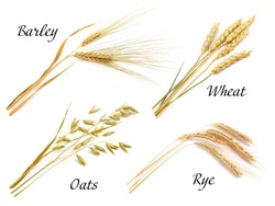 Cereals set isolated on white background. Oats, rye, wheat, barley.