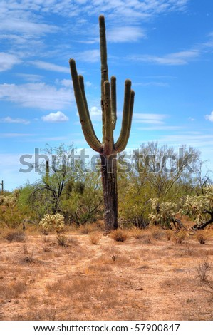 Cereus giganteus Saguaro cactus in the summer Arizona desert