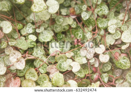 Ceropegia or string of hearts or snake creeper or wine-glass vine plant  green foliage soft focus #632492474