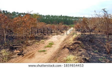 Cerrado area and eucalyptus planted forests burned at Brazilian countryside Foto stock ©