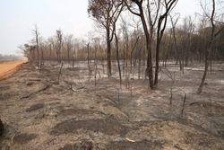 Cerrado Forest is burned by forest fires. Large area is destroyed by fire on the side of the dirt road. Brazil