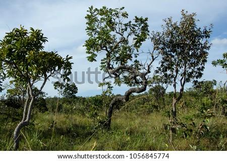 Cerrado vegetation in the Chapada dos Guimarães, Mato Grosso, Brazil, 2014. Foto stock ©