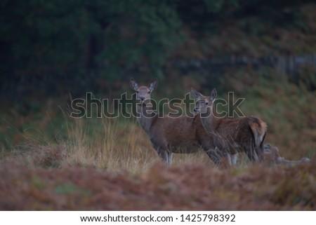 Cervus elaphus , Red deer Hind with her calf #1425798392