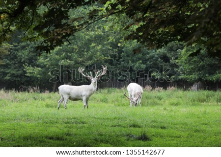Cervus elaphus - red deer in very rare white colored form in Czech republic #1355142677