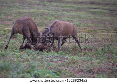 Cervus elaphus, Red deer stags rutting  #1528923452