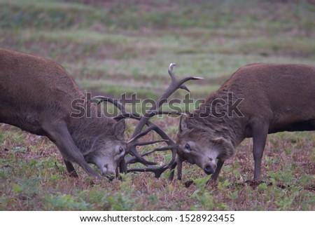 Cervus elaphus, Red deer stags rutting  #1528923455