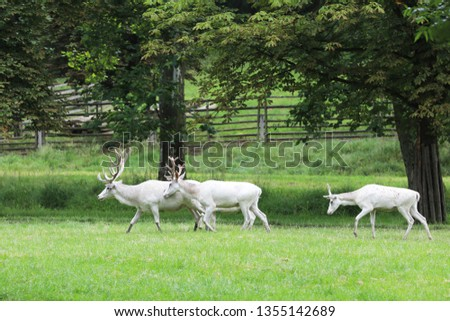 Cervus elaphus - three  red deers in very rare white colored form #1355142689