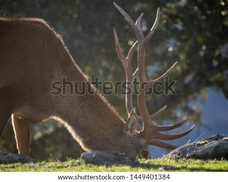 Cervus elaphus - wildlife animals forest #1449401384
