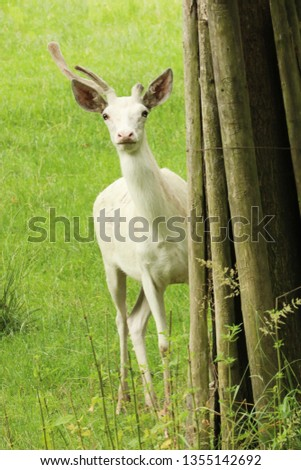 Cervus elaphus - young red deer in very rare white colored form #1355142692