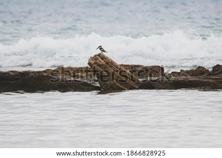 Photo of  Ceryle Rudis resting on a rock