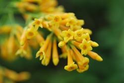 Cestrum aurantiacum Lindl. or Yellow jessamine. Originated in Guatemala and Indies Islands.