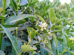Cestrum diurnum (day-blooming cestrum, day-blooming jessamine, king of the day or day-blooming jasmine) flowers on plant in the park