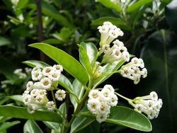 Cestrum diurnum is White flower. Fragrant and Flowering whole year Popular as ornamental plant