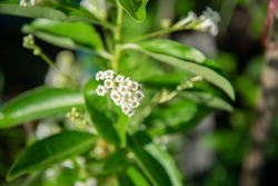 Cestrum diurnum (King of the day) white small flower
