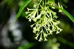 Cestrum nocturnum (common names include night-blooming jessamine, night-blooming jasmine, night-blooming cestrum, and raatrani) is full in bloom