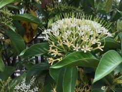 Cestrum nocturnum or night blooming jasmine blooming in white.