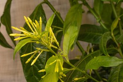 Cestrum nocturnum plant ( Night blooming jasmine )