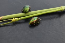 Cetonia aurata called the green rose chafer is a beetle that has a metallic structurally coloured green and a distinct V-shaped scutellum. Underside of the beetle has a coppery.Chrysolina cereals.