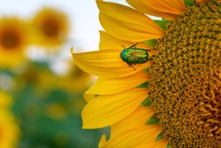 Cetonia aurata, called the rose chafer or the green rose chafer. A beetle on sunflower flower petals.