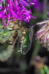 Cetonia aurata, called the rose chafer or the green rose chafer , an intresting photo